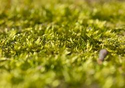 Macro photo taken of moss on a tree trunk.  Taken in early march in Ontario Canada.  Individual leaves can be seen in large image.
