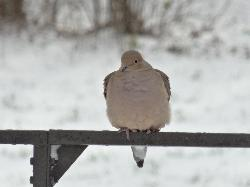 Photo of a Mourning Dove.  Late November, in Barrie Ontario Canada