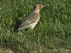 A male northern flicker looking for food in the lawn.