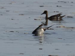 Northern Pintail Male - Eating - Minesing Wetlands
