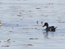 Male Northern Pintail swimming in the spring runoff at the Minesing Wetlands. Located in Ontario Canada.  This digital zoomed photo was taken in April 2014.