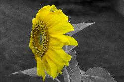 A close-up photo of a sunflower.  Removed all colours but yellow, using Photoshop Camera Raw.