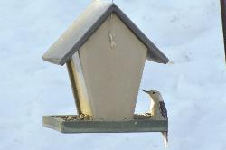 A male White Breasted Nuthatch at winter bird feeder.  In Barrie Ontario.