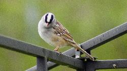 White Crowned Sparrow - Close-up