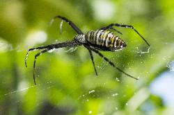 Female Black and Yellow Garden Spider - Macro