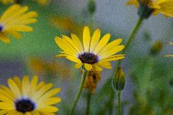 Yellow Daisy - Close-up